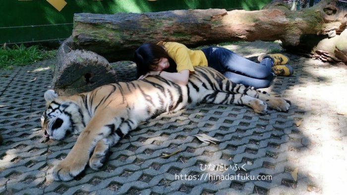 タイガーキングダムのトラ